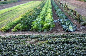 cultivation of a field of spinach, broccoli and cabbage