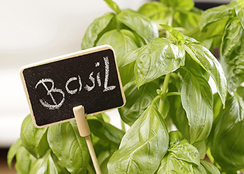 Fresh basil is easy to grow in a pot on a windowsill and has multiple protective properties