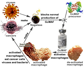 Nagalese produced by viruses, cancer cells, and bacteria can inhibit natural production of GcMAF, but not GCMAF injected into the body