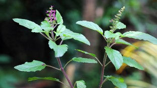 How Holy Basil Helps Your Body Adapt to Stress & Reduce Cancer Growth