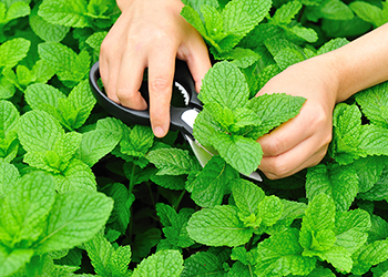 Not only is mint delicious and refreshing, it offers protection against radiation