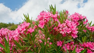 Oleander Extract: How This Traditional Turkish Remedy Fights Cancer & Other Disease