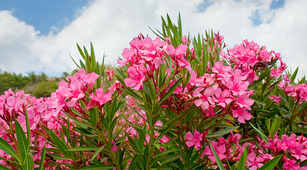 Oleander Extract's Success Against Cancer and Other Illness
