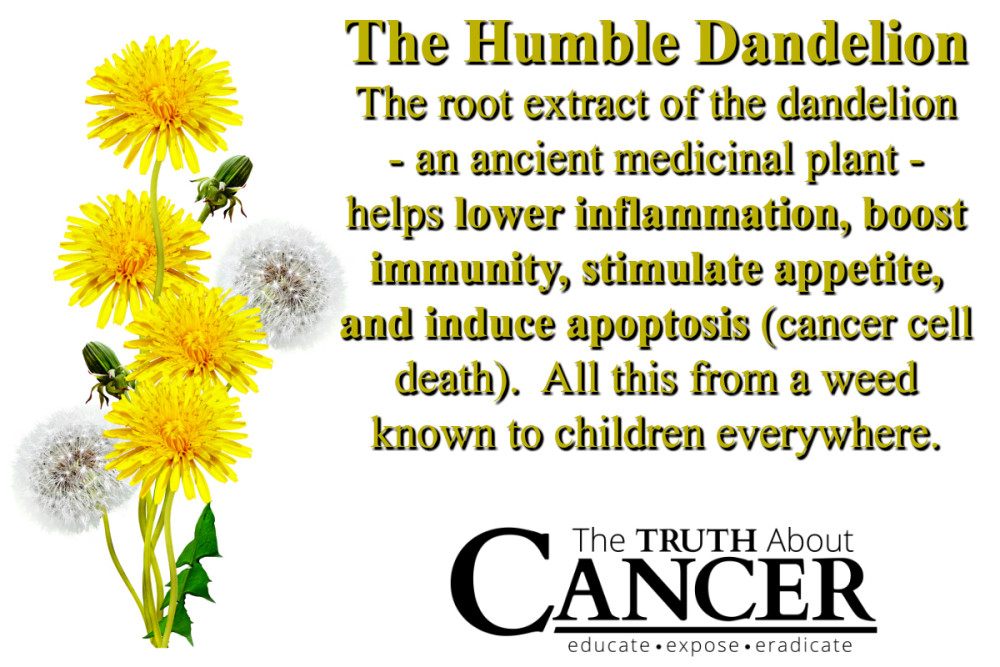 Dandelion-Cancer-fighting-food