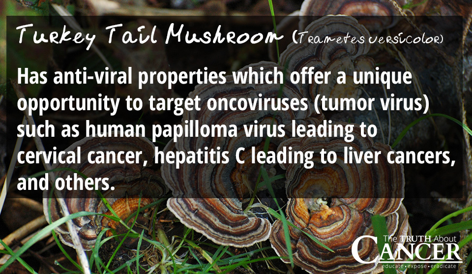 Turkey-Tail-Medicinal-Mushroom