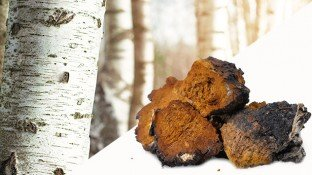 Chaga Mushroom: This Unusual Tree Fungus is a Medicinal Powerhouse