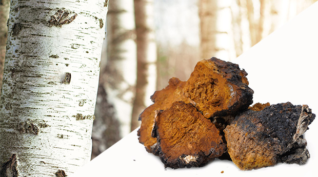 Chaga Mushroom: Good for Cancer Prevention and Treatment?
