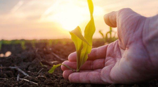 farmer examining young corn maize crop