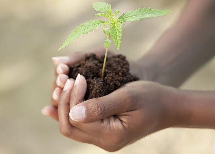 Hands with marijuana sprout in dirt